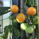 グリーンカーテンと収穫